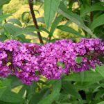 Budleja Dawida – sadzonki, odmiany, rozmnażanie, cena