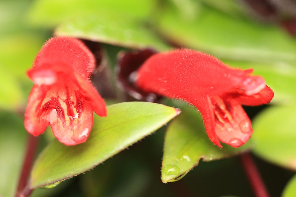Eschynantus – przycinanie, rozmnażanie, pielęgnacja i uprawa