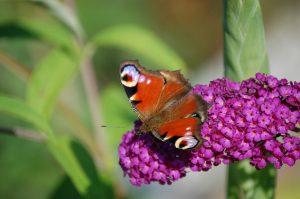 motyl siedzi na budleji dawida