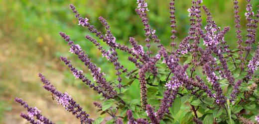 Szałwia omszona – bylina wieloletnia, odmiany, uprawa